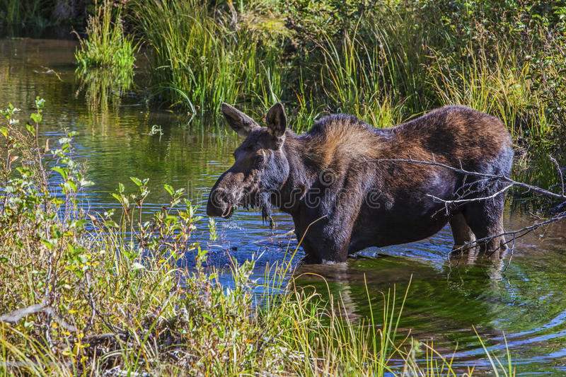 Moose in swamp land. A large antler-less moose feeds on the aquatic plants in the wetlands of western mountains royalty free stock image