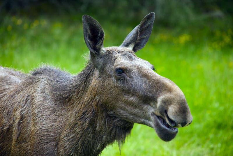 Download Moose in Sweden stock image. Image of grass, animal, mammal - 31936357