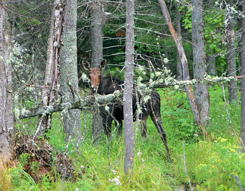 Moose in the trees. A tall female moose hiding in the trees peeking out royalty free stock image