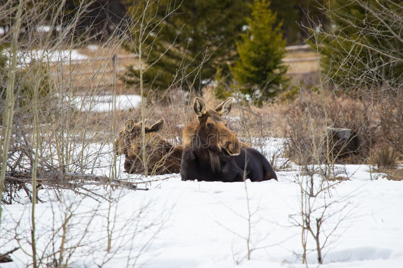 Moose and two calves resting in a sunlit snowy forest. Moose and two young calves laying down and relaxing in a sunlit snowy forest. Winter in Wyoming USA royalty free stock photos