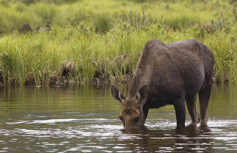 Moose Wading. Female Moose in Mid-Summer wading a pool close to the Lake Granby area of Colorado, inside the national park stock photography