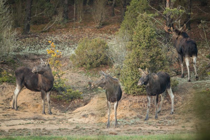 Mammal - bull moose Alces. A moose walking in the forest scenery royalty free stock image
