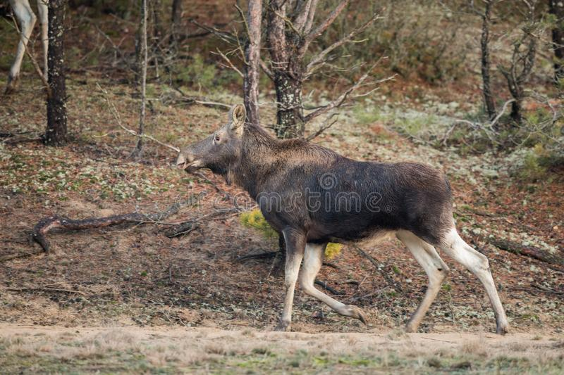 Mammal - bull moose Alces. A moose walking in the forest scenery royalty free stock images