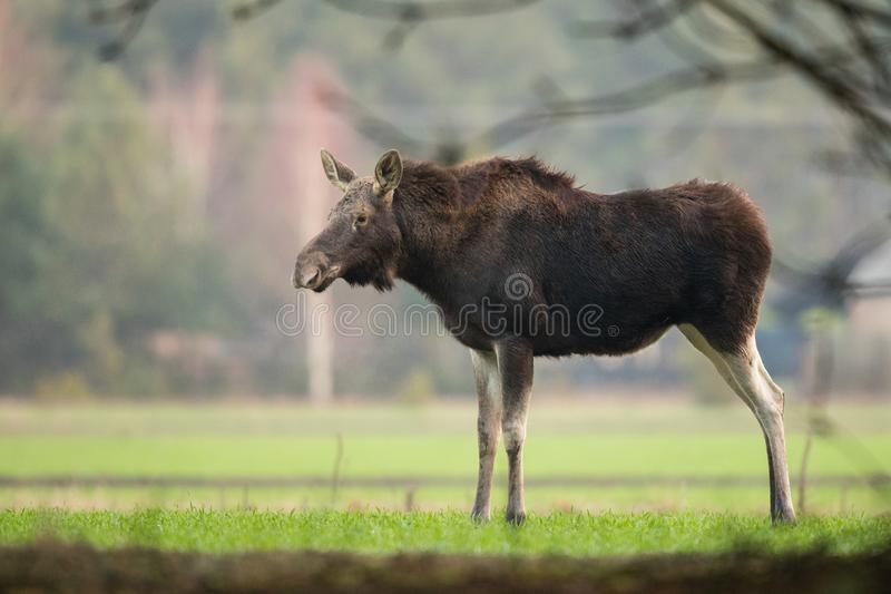 Mammal - bull moose Alces. A moose walking in the forest scenery stock photography