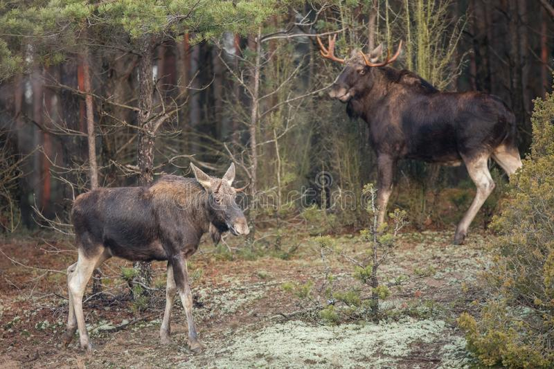 Mammal - bull moose Alces. A moose walking in the forest scenery royalty free stock photography