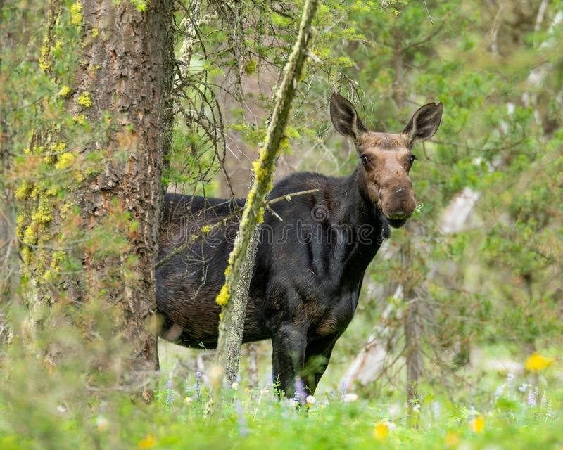Moose. Wandering through the woods royalty free stock image