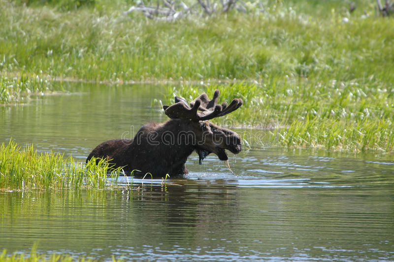 Moose in water. Bull moose drinking water in Glacier National Park stock photos