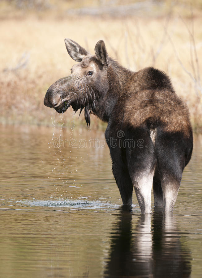 Moose in water. In Grand Teton stock photography
