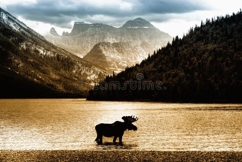 Moose in Waterton Lake stock images