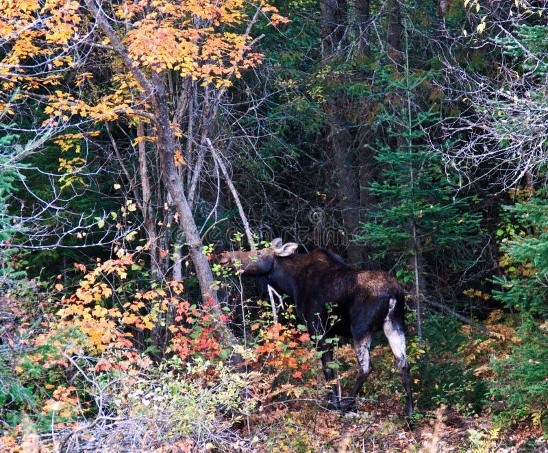 Download Moose at Wild stock image. Image of fall, moose, park - 16340645