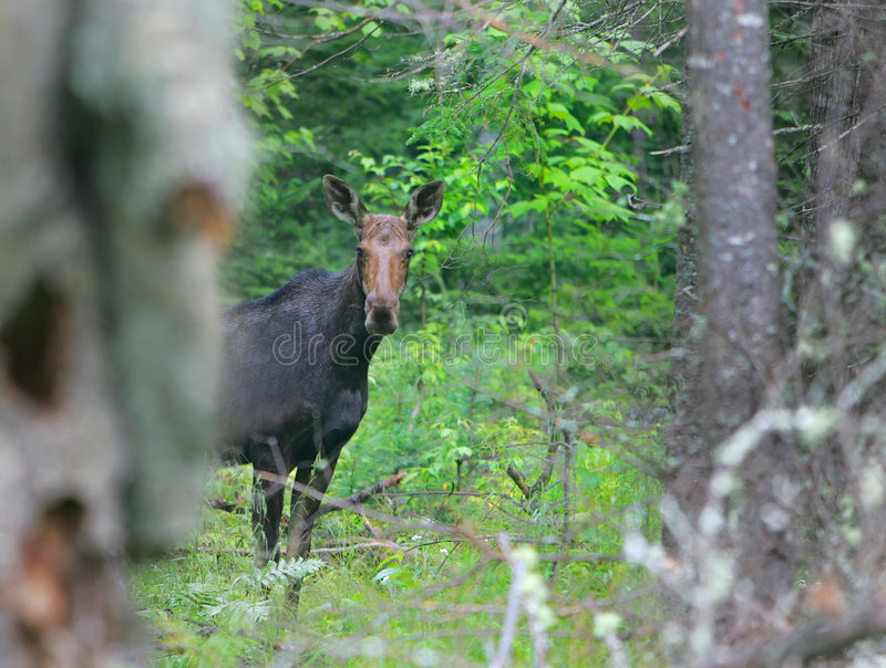 Moose in the woods royalty free stock photography