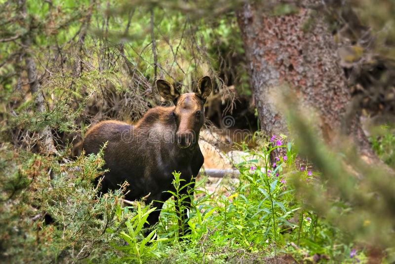 Moose. Young moose in Rocky Mountain National Park stock photo