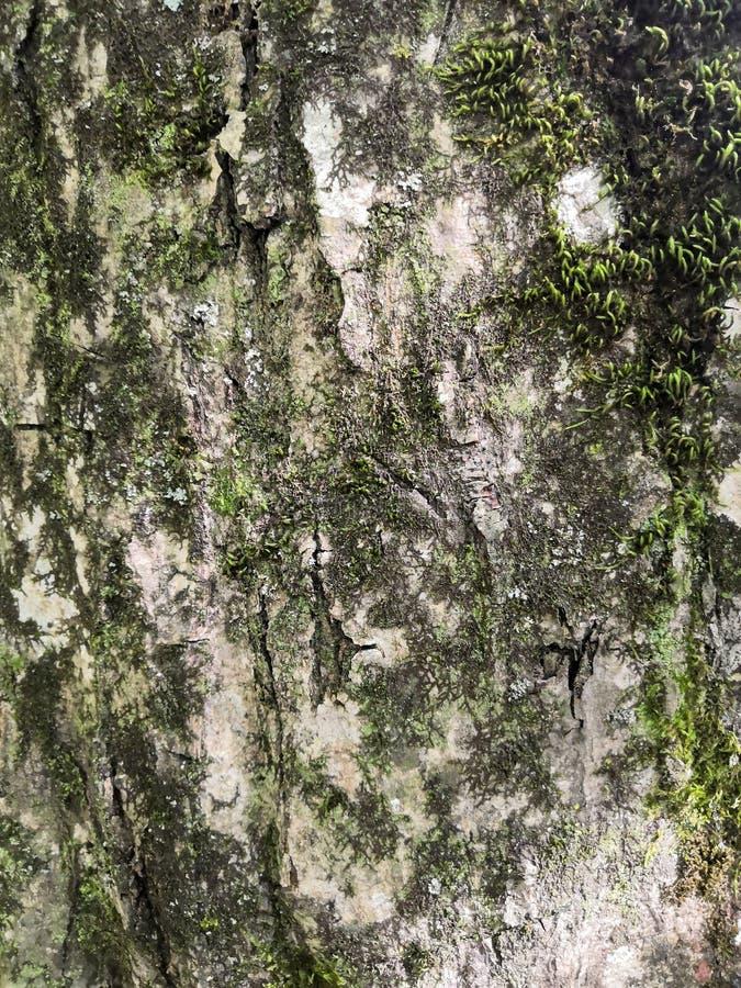 Moosige Barke einer alten Eiche, ein sch?nes Muster bildend Wildes grünes Moos wachsen auf Barkenbaum im Wald lizenzfreie stockfotos