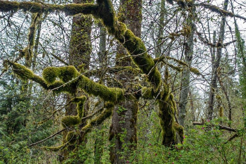 Moosige Baum-Zusammenfassung 3 stockfotos