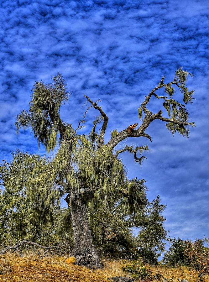 Moosige Eiche gegen wilden Himmel stockfotografie