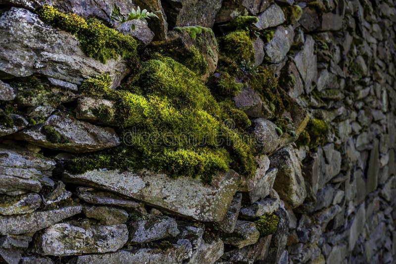 Moosige Steinwand, die heraus kriecht stockbilder