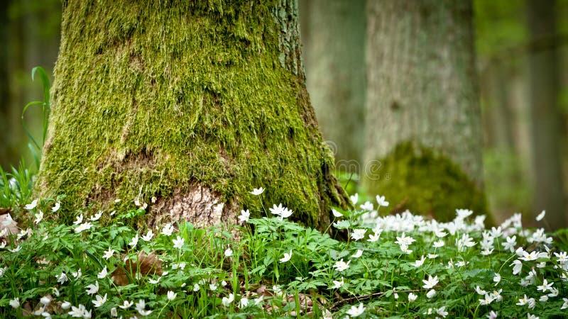 Moosiger alter Baum und Windflower stockfotografie