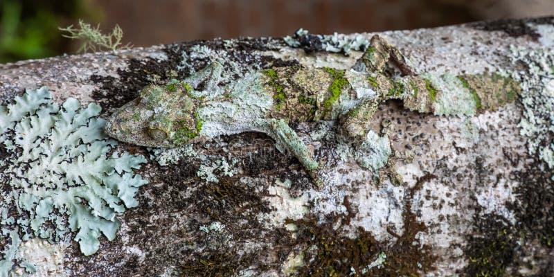 Moosiger Blatt-angebundener Gecko stockbilder