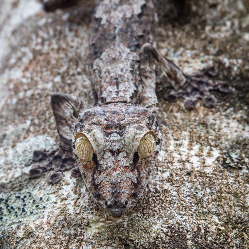 Moosiger Blatt-angebundener Gecko lizenzfreie stockfotografie