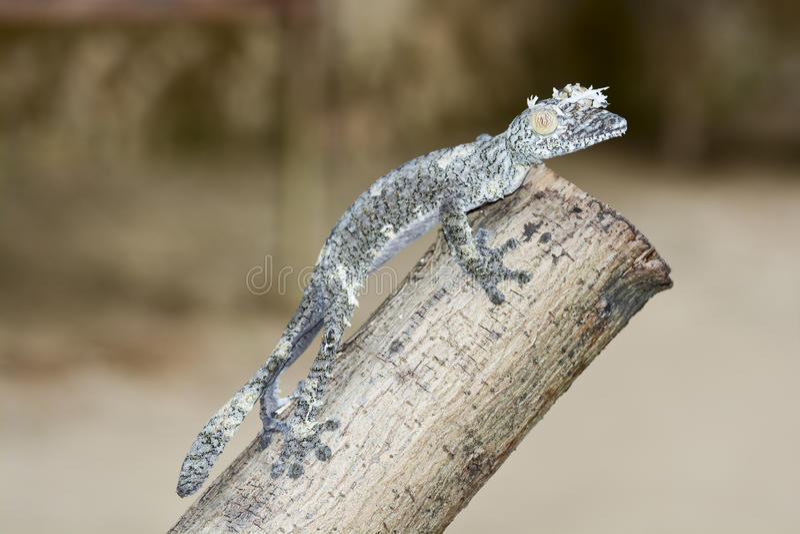 Moosiger Blatt-angebundener Gecko (Uroplatus-sikorae) getarnt lizenzfreie stockbilder