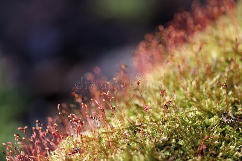 Moossporenkapseln im Waldabschluß oben stockfoto