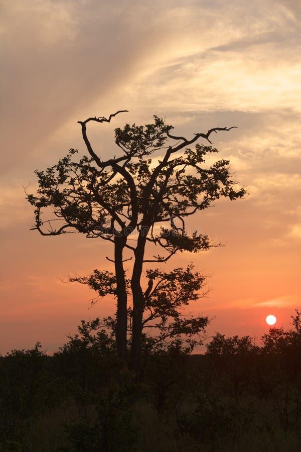 Mopane Sunset Stock Photo