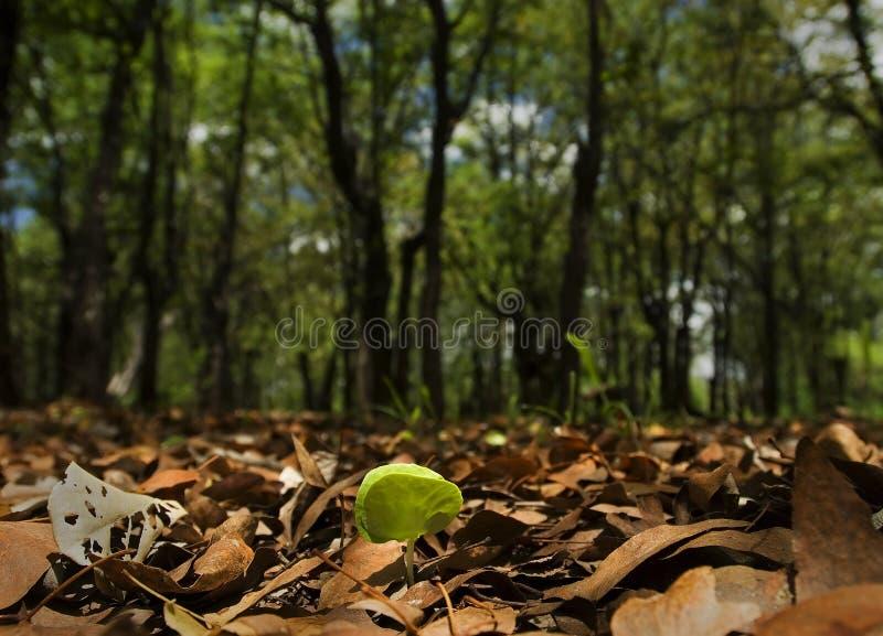 Mopane sapling. Pushing through the leaf litter stock photography