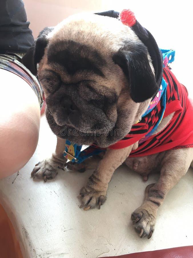 Mops śliczna psia jest ubranym czerwona koszula fotografia royalty free
