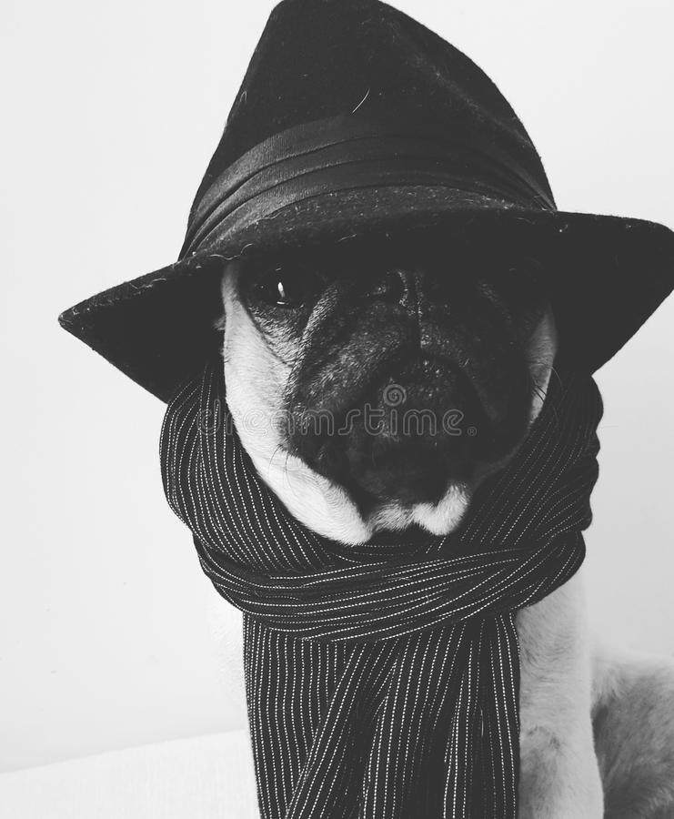 Mops Capone fotografia stock