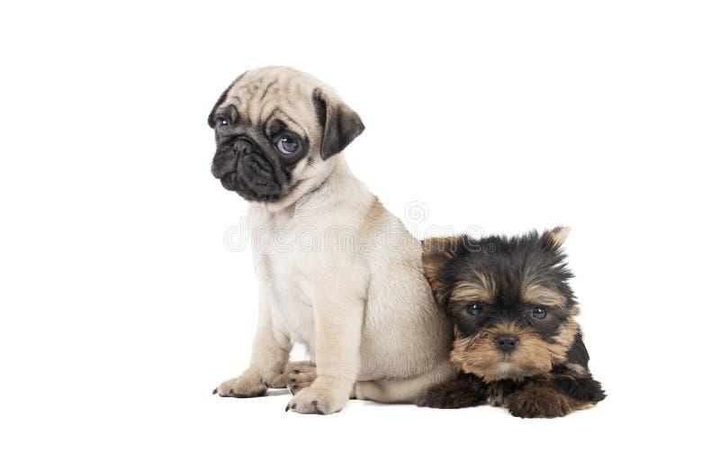 Mops för två valp och Yorkshire terrier arkivfoton