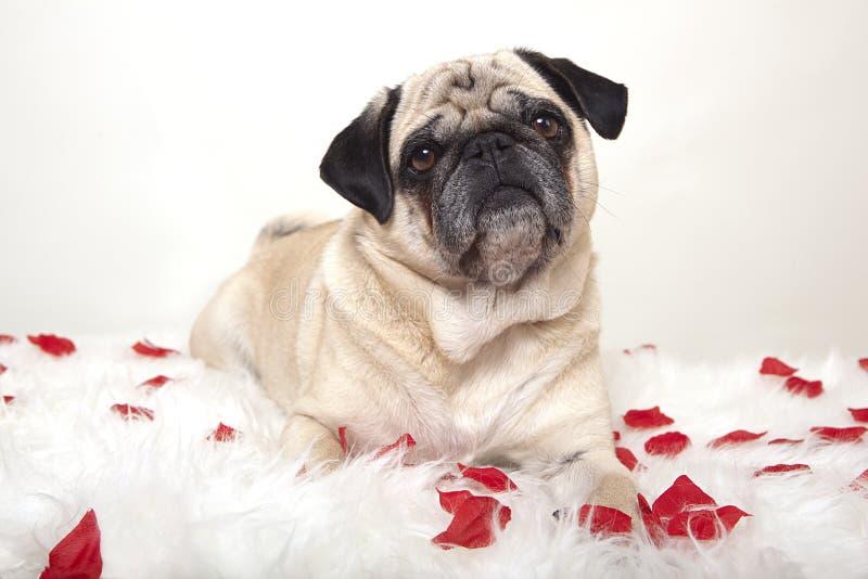 Mops på en vit bordduk med rosor fotografering för bildbyråer