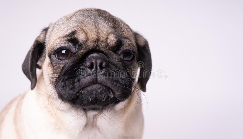 Mops, pies na białym tle Śliczny życzliwy gruby pyzaty mopsa szczeniak Zwierzęta domowe, psi kochankowie, odizolowywający na biel fotografia stock
