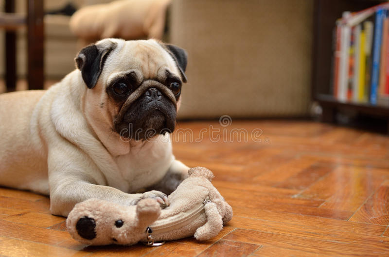 Mops with toy royalty free stock photos