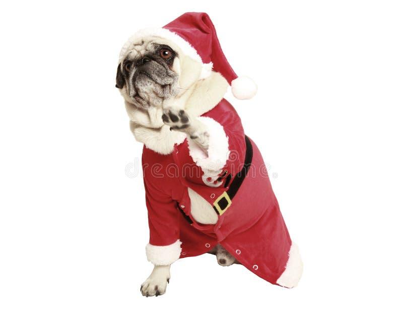 Mops w Santa żakiecie podnosi jego łapę obraz royalty free