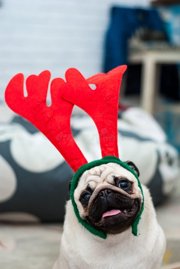Mops z czerwonego rogacza poroże psi szczęśliwy Bożenarodzeniowy mopsa pies piłek bożych narodzeń odosobniony nastroju trzy biel  zdjęcia royalty free