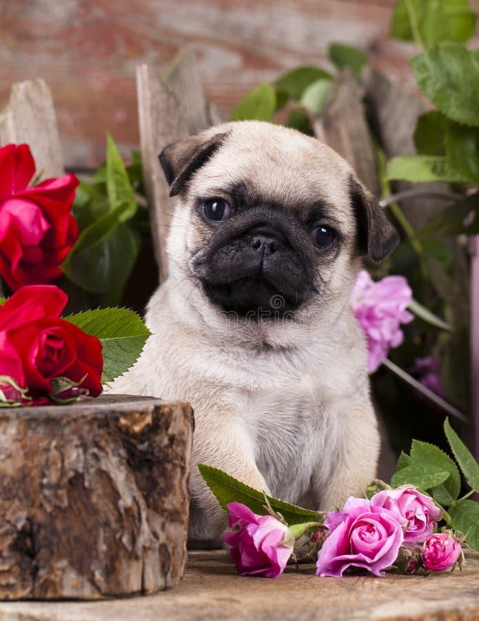 Mopsa kwiatu i szczeniaka róże obraz stock