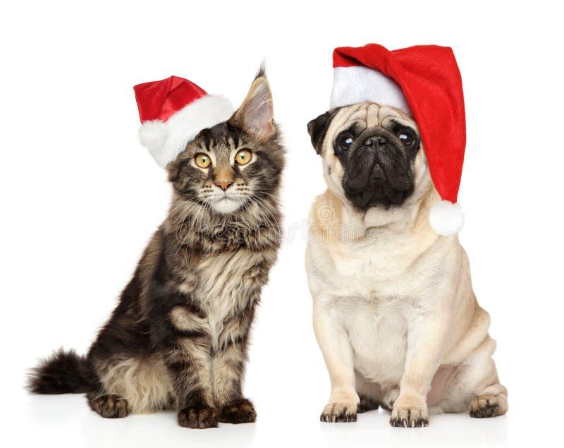 Mopsa pies i Maine Coon kocimy się wpólnie w Santa czerwieni kapeluszach obraz stock