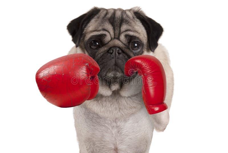 Mopsa psi bokser uderza pięścią z czerwonymi rzemiennymi bokserskimi rękawiczkami fotografia stock