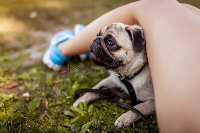 Mopsa psi chować pod mistrzowskim ` s iść na piechotę na trawie Szczęśliwy szczeniak ma zabawę z mistrzem obraz royalty free