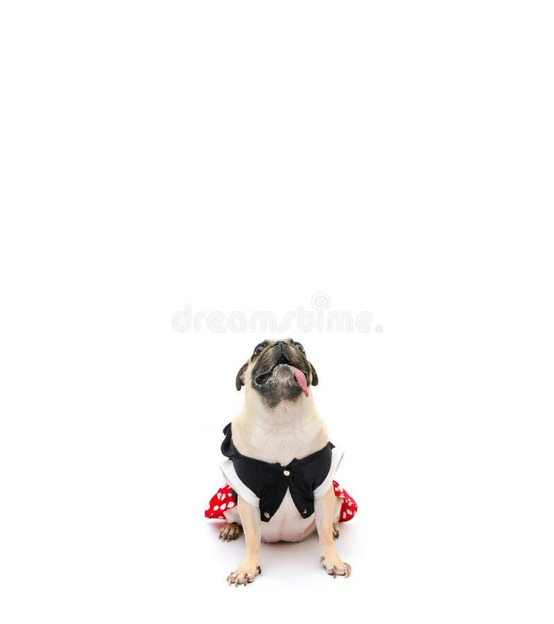 Mopsa szczeniaka pies w kostium sukni obsiadaniu z jęzorem wtyka, przyglądającym za i w górę, odizolowywający na białym tle z kop zdjęcie stock