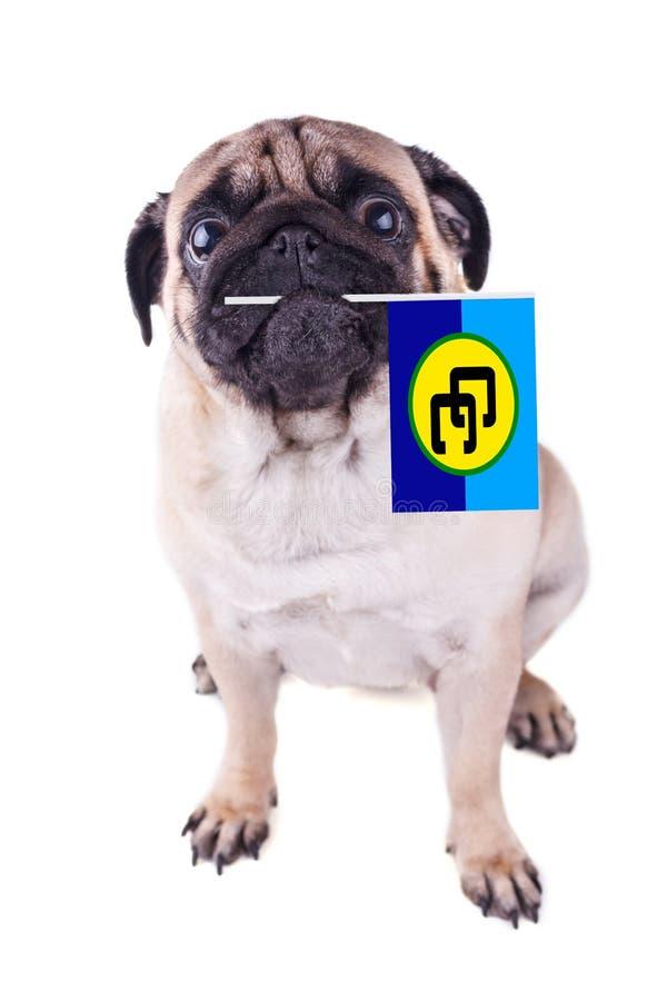 Mopshund med flaggan för karibisk gemenskap i munnen Caricom-dag isolerat royaltyfri fotografi