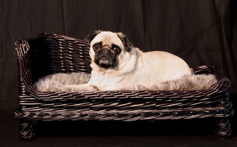Mopshund och elegant korg royaltyfria bilder