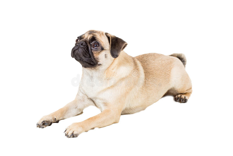 Mopshund som isoleras på vit bakgrund royaltyfria bilder