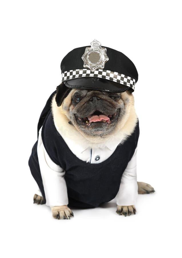 Mopshund som kläs som en taxichaufför arkivbild