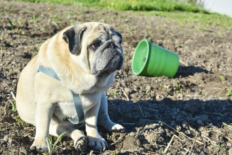 Mopshund som sitter på den grävde upp jordningen Den gröna hinken ligger på dess sida Begreppet av hälsoproblem i hundkapplöpning royaltyfri fotografi