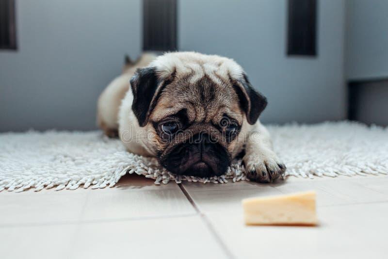 Mopshund som väntar på en tillåtelse att äta ost på köket arkivbilder