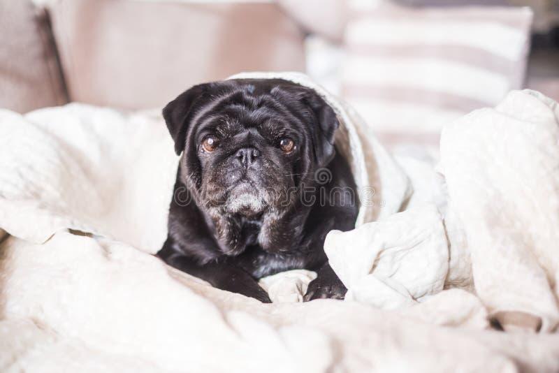 Mopshunden har gyckel som spelar under filten arkivfoto