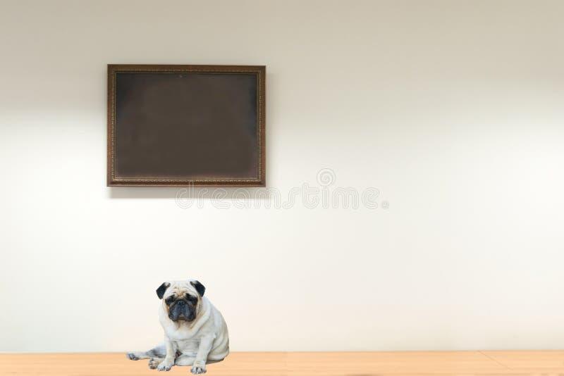 Mopshundsammanträde på golvet royaltyfria bilder