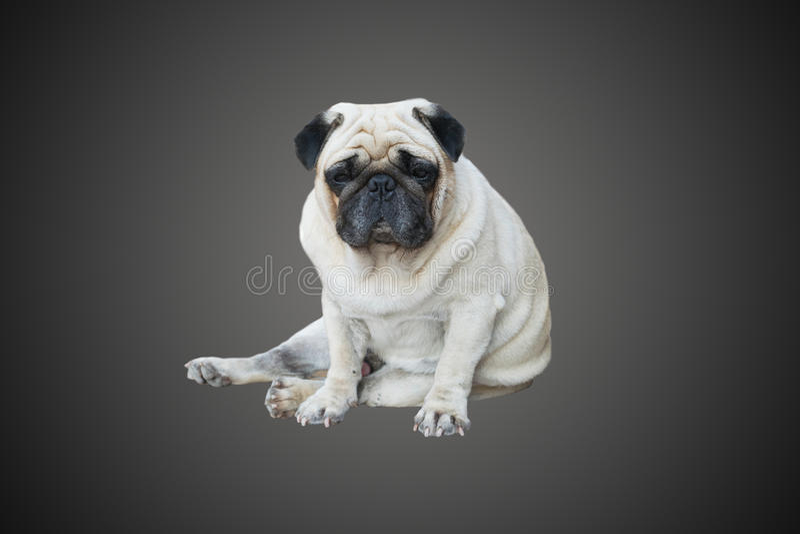 Mopshundsammanträde på golvet fotografering för bildbyråer