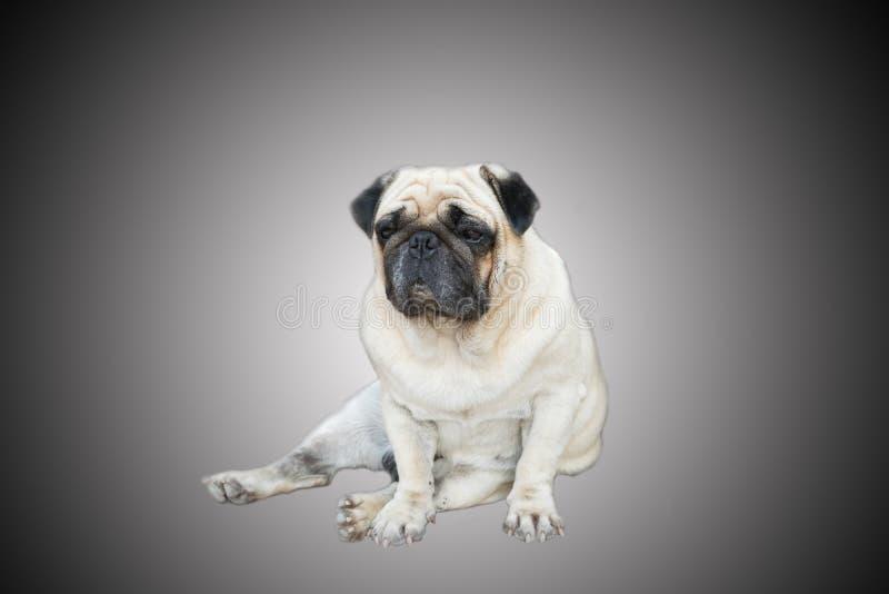 Mopshundsammanträde på golvet royaltyfri fotografi
